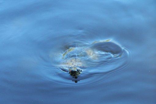 Turtule, Animal, Water