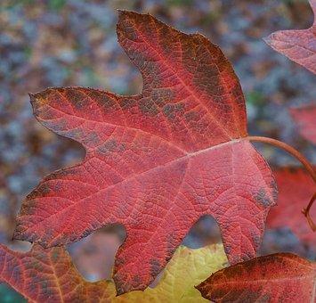 Oak Leaf Hydrangea, Hydrangea, Leaf, Red, Autumn, Fall