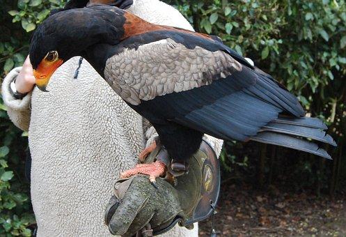 Bateleur, Eagle, Raptor, Plumage, Falconry, Predator