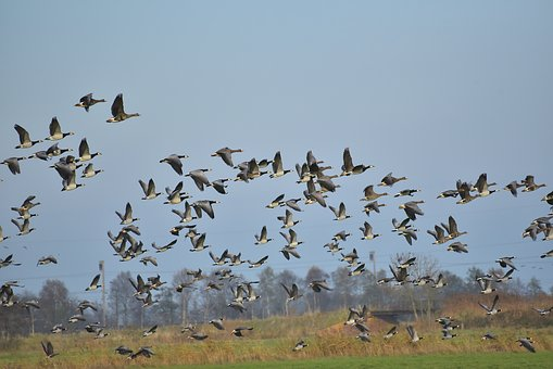 Geese, Flying, Birds, Sky, Migratory Birds