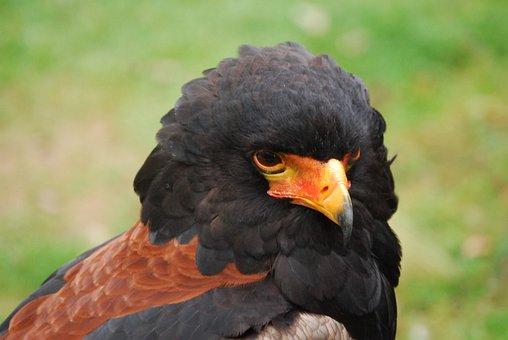 Eagle, Bird Of Prey, Bateleur, Predator, Close-up