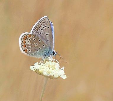 Butterfly, Common Blue, Hauhechel, Polyommatus Icarus
