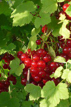 Currant, Ribes Grossularia, Small Fruit, Orchard