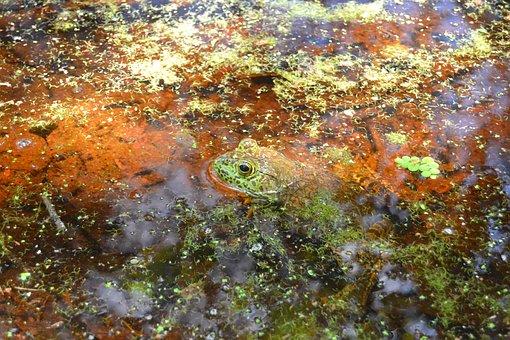 Frog, Swamp, Frog In Swamp, Green, Nature, Amphibian