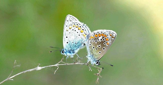 Pairing, Common Blue, Hauhechel, Butterfly