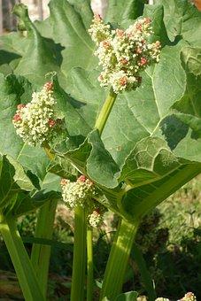Rhubarb, Rheum Rhaponticum, Flower, Leaf, Rod, Green