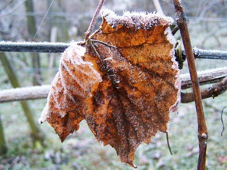 Hoary Vine Leaves, Rime, Winter, Nature