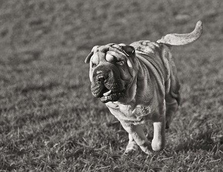 Dog, Sharpei, Run, Play, Animal, Black And White