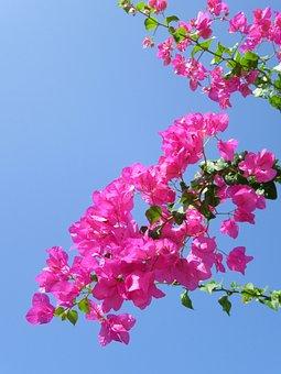 Tropical Flower, Exotic Flower, Bougainvillea, Pink