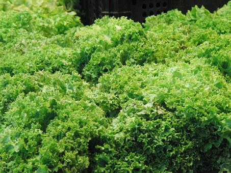 Lettuce, Escarole, Green, Vegetables