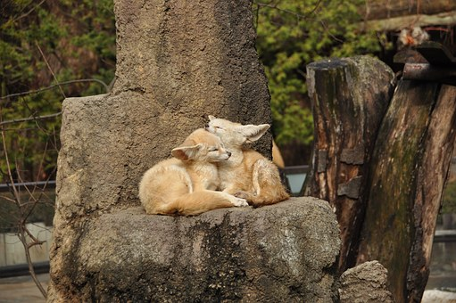 Zoo, Fennec Fox, Autumn