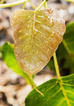 Young Bodhi Leaf, Bodhi Leaf, Dewdrop On Leaf, Dew