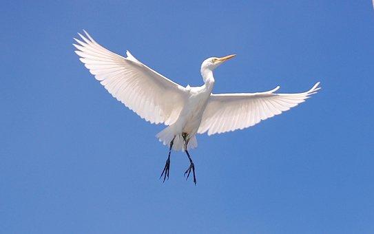 Cattle Egret, Bird, Sky, Clouds, Flying, Flight, Wings