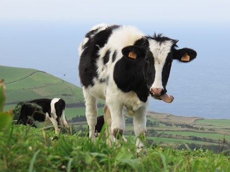 Calf, Cow, Tongue, Pasture, Hill, Cattle, Livestock