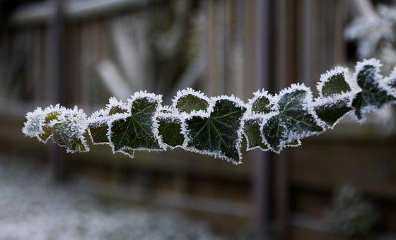 Frozen, Frost, Iced, Ivy, Incomplete, Cold, Winter
