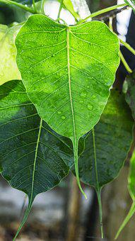 Bodhi Leaves, Dewdrop On Leaves, Dew, Dewdrop Awakening