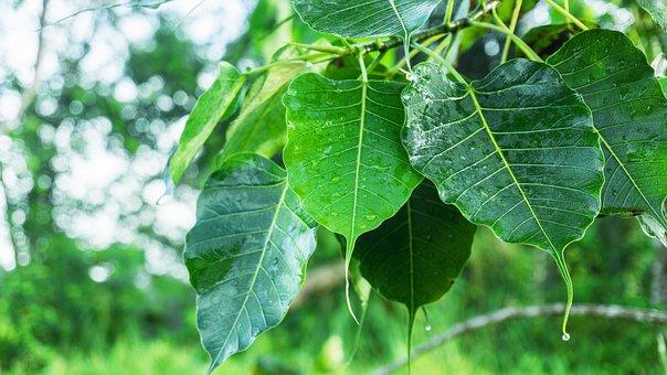 Bodhi Leaves, Dewdrop On Leaves, Dew, Dewdrop Awakening