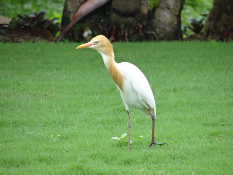 Cattle Egret, Bird, Egret, White, Beautiful, Karnataka