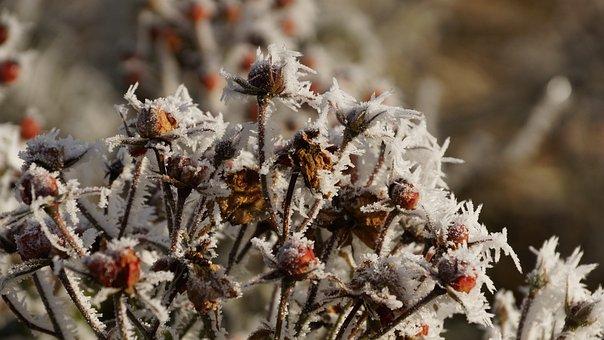 Rose, Flower, Blossom, Bloom, Plant, Winter, Snow, Ice
