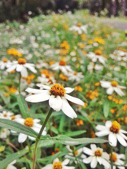 Daisy, Flower, Spring, Nature, Floral, Summer, Natural
