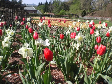 Close-up, Biltmore, Gardens, Tulips, Flowers, Spring