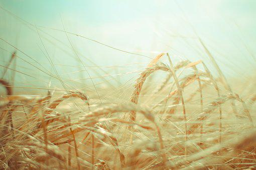 Wheat, Grain, Green, Food, Agriculture, Harvest, Farm