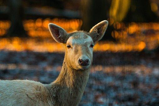 Roe Deer, Hirsch, Red Deer, Forest, Wild, Nature