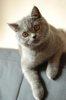 Cat, British Shorthair Cat, Pet, Feline, Amber Eyes
