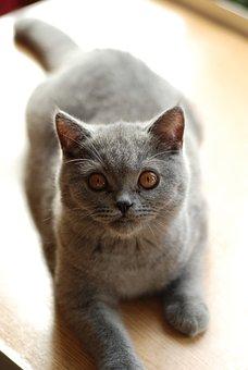 Cat, British Shorthair Cat, Pet, Feline, Amber Eyes