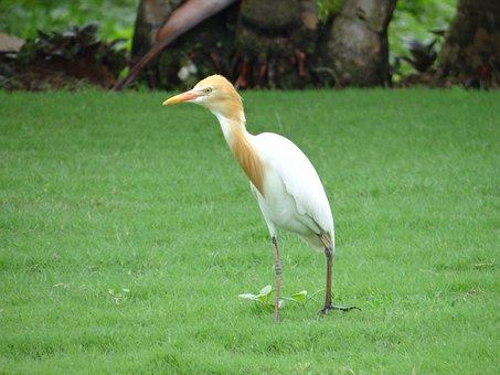 Cattle Egret, Bird, Egret, White, Beautiful, Karnataka