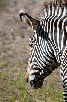 Zebra, Wildlife, Animal, Nature, Stripes