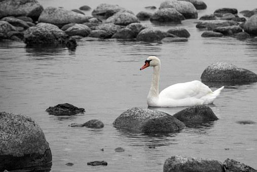 Swan, Water, Stones, Coast, Nature, Baltic