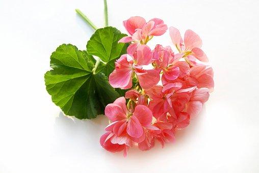 Rosengeranie, Flower, Blossom, Bloom, Nature, Plant