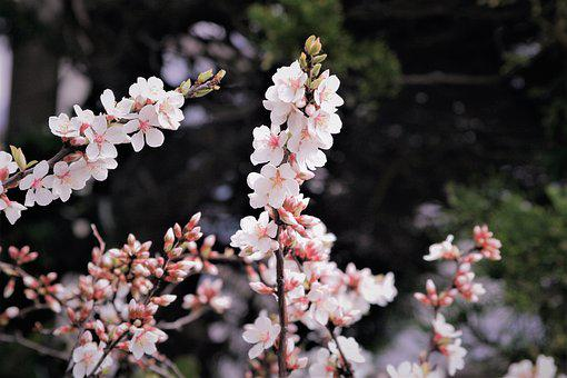 Cherry Blossoms, Pale Pink, Pale, Soft, Branch