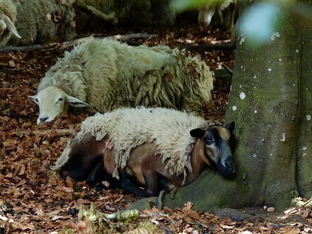 Sheep, Concerns, Sleep, Rest, Forest, Log, Schur, Wool