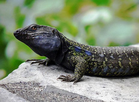 Lizard, Males, Canary Islands, Endemic, Close, Gallotia
