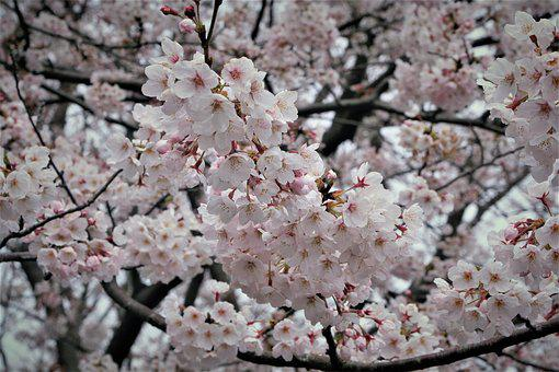 Cherry Blossoms, Pale Pink, Pale, Soft, Stratus And