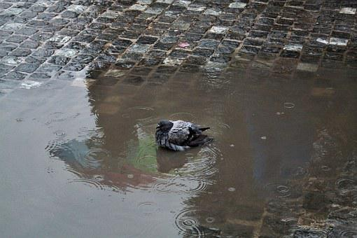 Dove, Rain, Swimming, Water