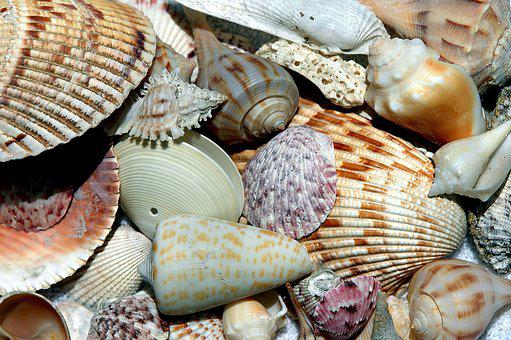 Sea Shells, Shell, Beach Shell, Patterns, Design