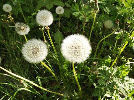 Dandelion, Taracacum, Nature
