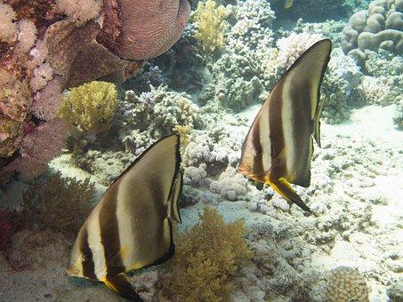 Batfish, Rotesmeer, Underwater