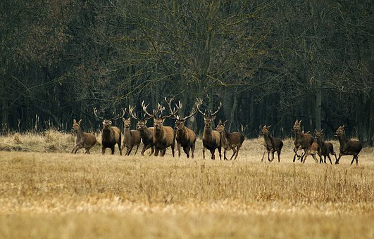 Animals, Running, Deer, Forest, Wildlife, Wild, Zoology