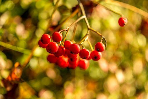 Pihjaja, Berry, Red Berry, Autumn, Berry Clusters