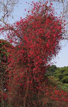 Bougainvillea, Climber, Flowers, Red, Blossom