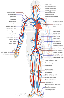 Circulatory, System, Labels, Biology, Diagram, Science