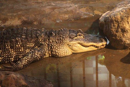 Alligator, Animal, Crocodile, Dangerous, Head, Jaws