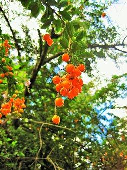 Duranta Berries, Tree, Duranta, Berries, Seeds, Orange