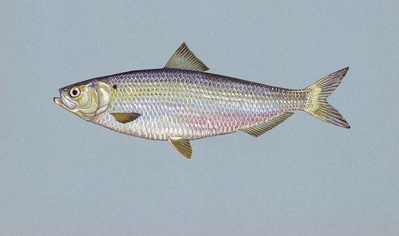 Herring, Fish, Blueback, Animals, Fauna