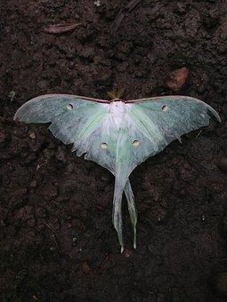 Actias Selene, Insect, Moths