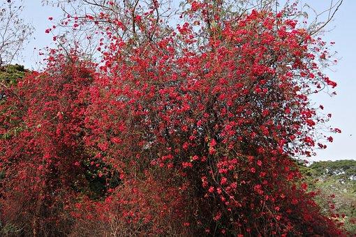 Bougainvillea, Flowers, Red, Blossom, Profusion, India